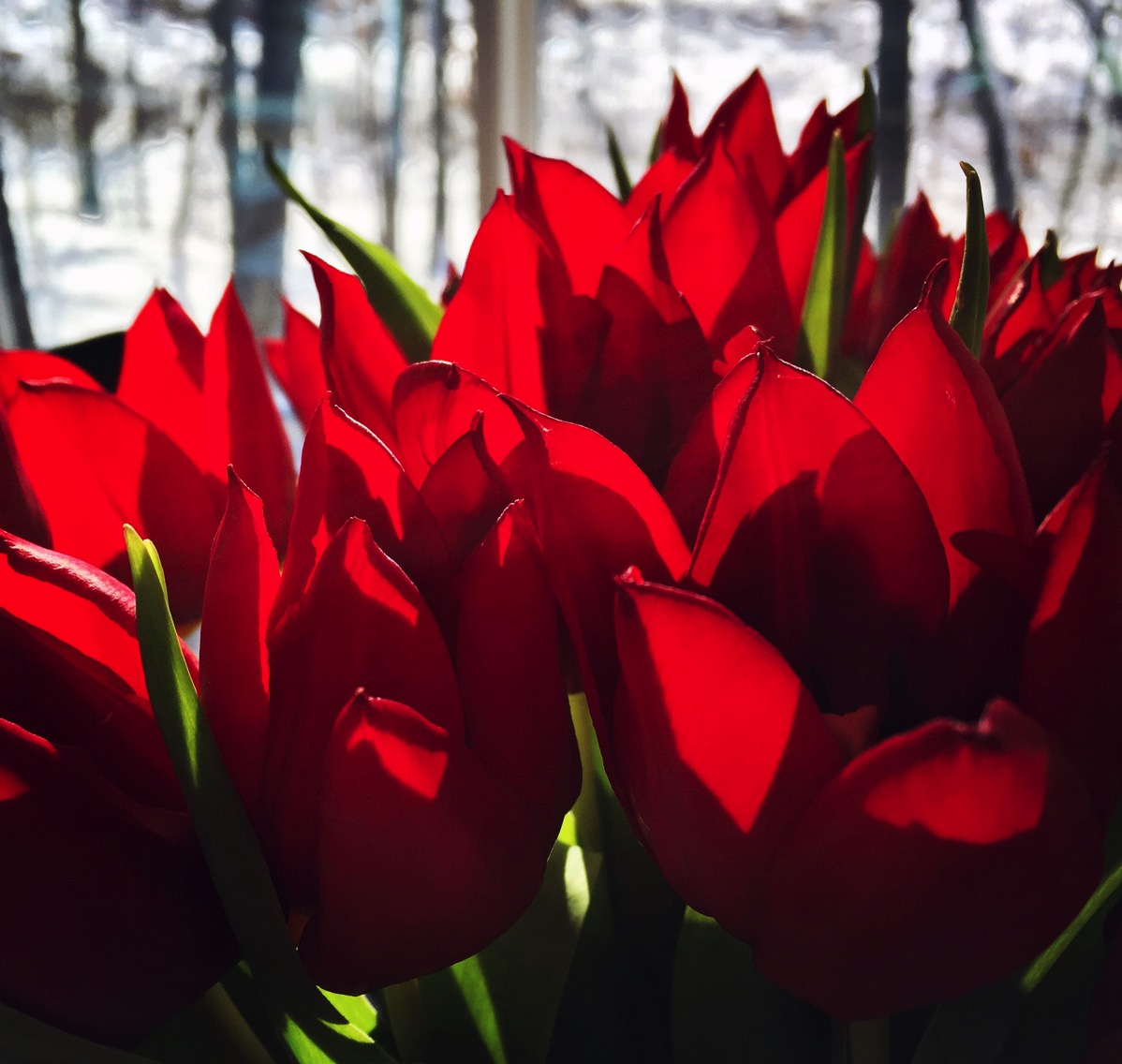 Tulips in Winter