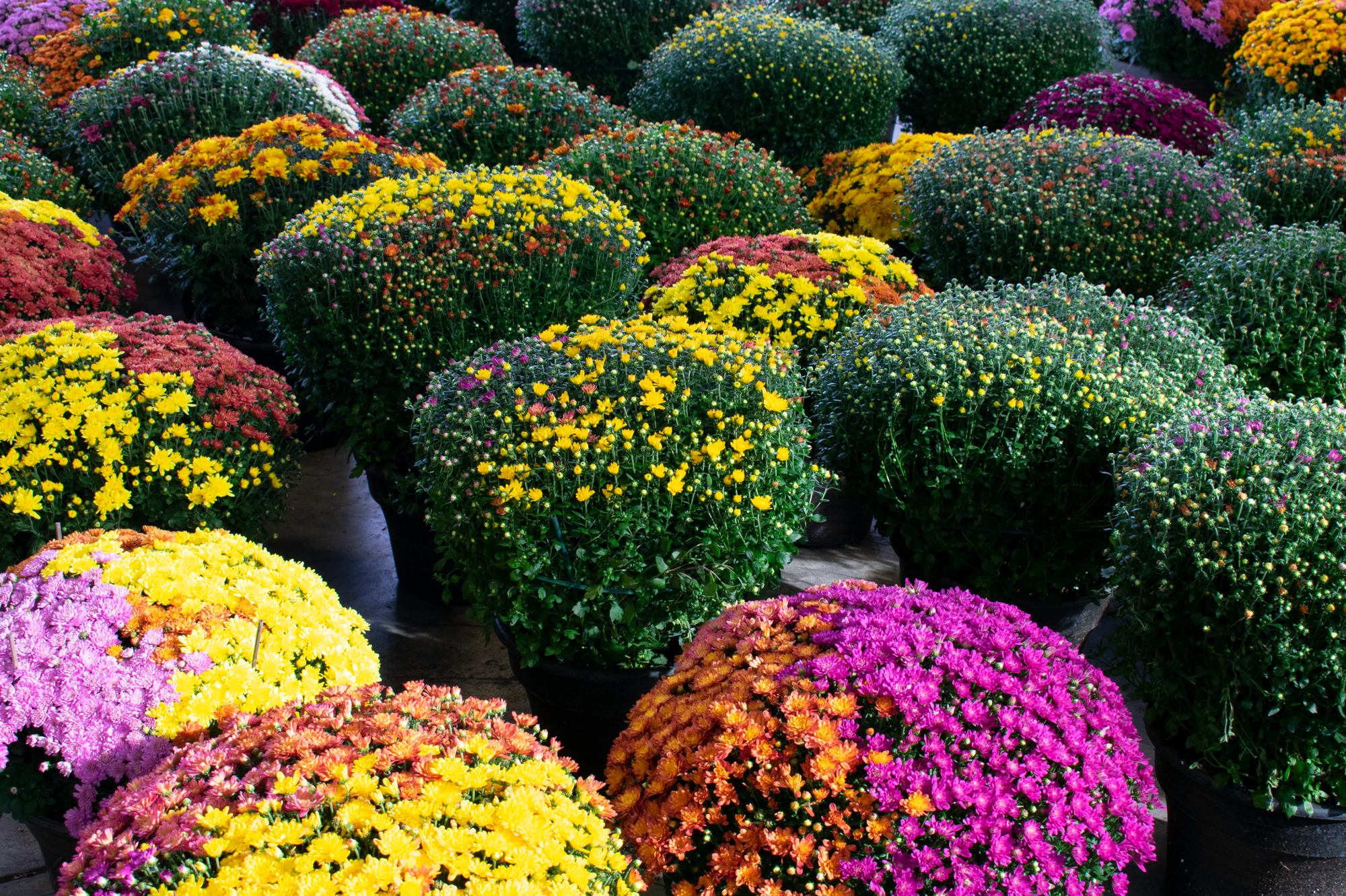 EasternMarket Fall2018 Mums